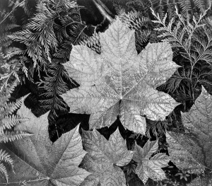 Adams Maple Leaf