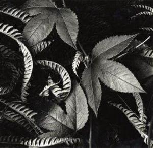 Brett Weston foliage