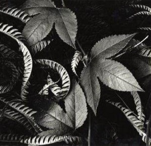 Brett Weston foliage