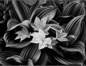 Barnbaum's corn lily