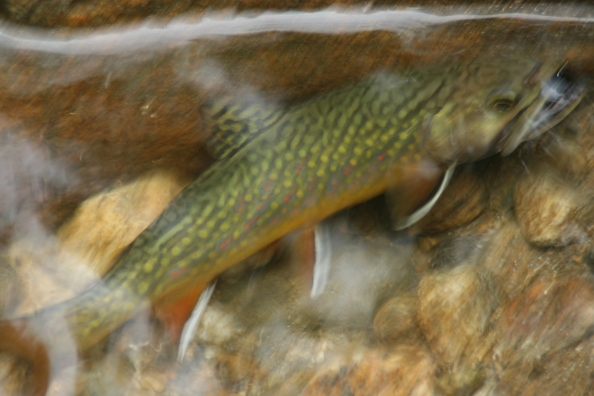 Dry River native brookie