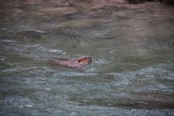 This beaver was bigger than Tavish.