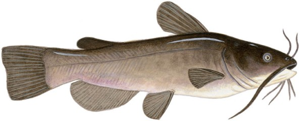 brown bullhead (hornpout)