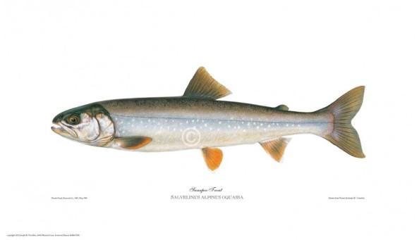 sunapee-trout-salvelinus-alpinus-oquassa