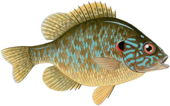 pumpkinseed-sunfish